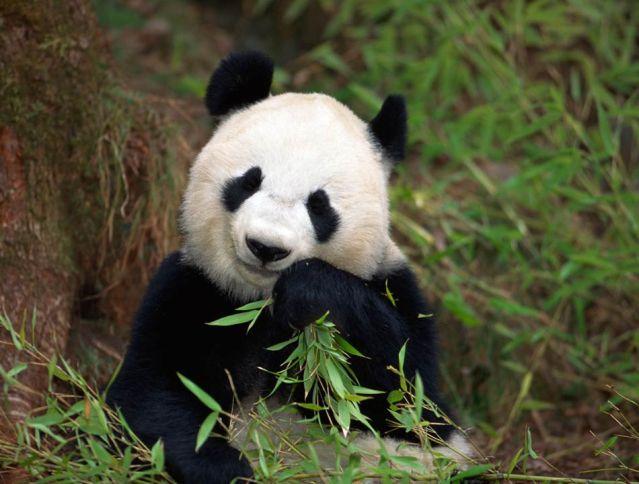 Bamboo has many fans!